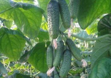 Огурцы «изумрудные сережки f1»: правила посадки, выращивания и ухода