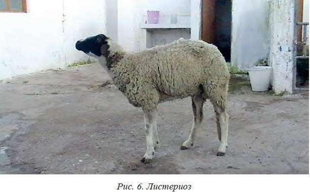 Диктиокаулез у овец