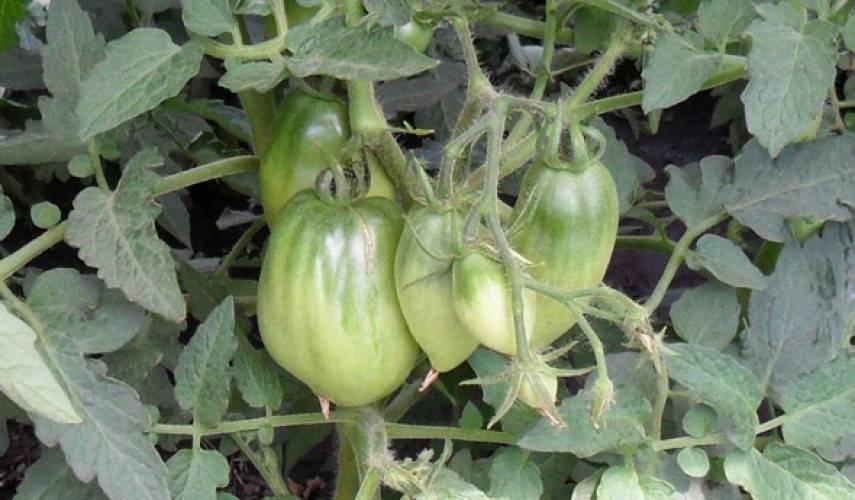 Томат петруша огородник – низкорослый и очень щедрый крепыш