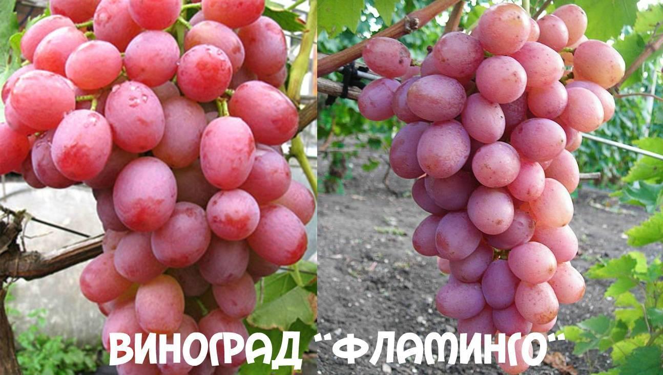 Виноград граф монте кристо: описание, фото и отзывы