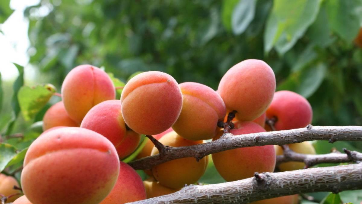 абрикос восточный саян описание сорта фото отзывы самокат