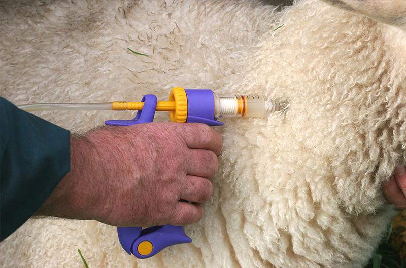 Ценуроз овец (вертячка)
