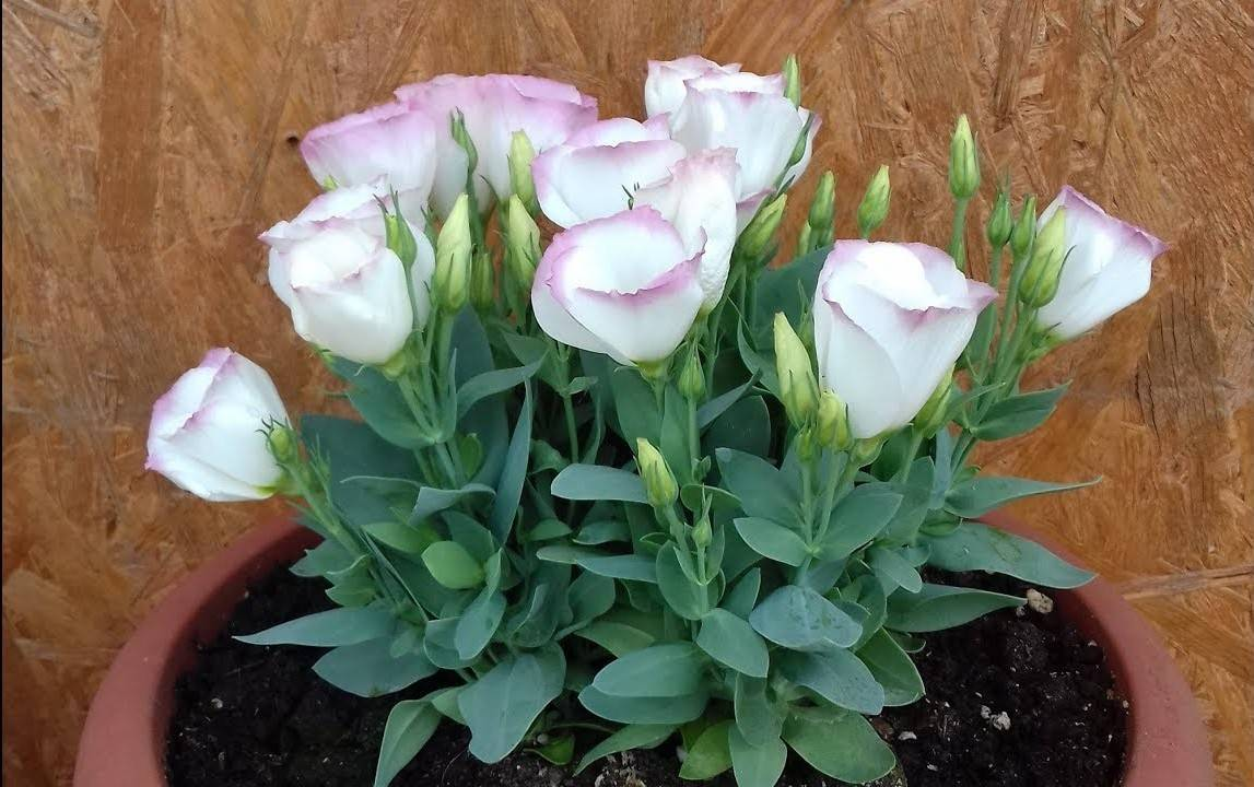 Выращивание эустомы: особенности посадки и созревания цветка (96 фото)