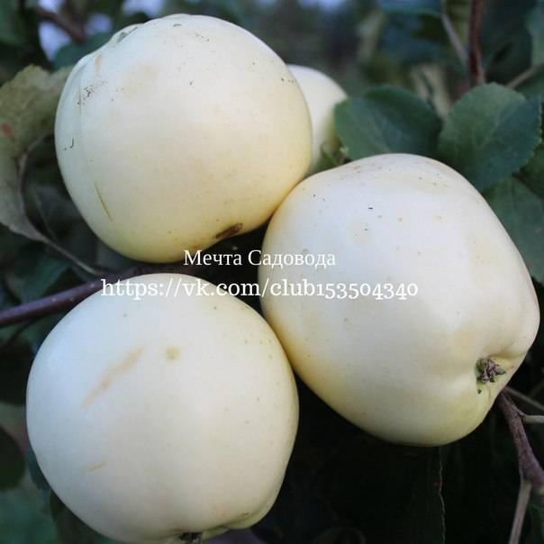 Лидер среди яблочных культур — сорт гренни смит