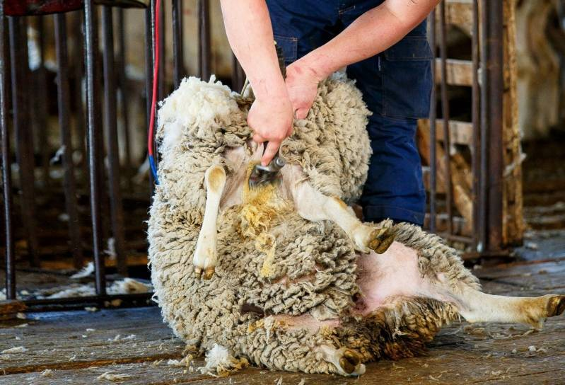 Овцеводство как бизнес. бизнес-план овцеводства для россии