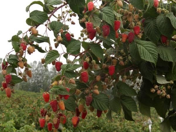 Описание сорта малины Таруса и характеристики, выращивание и уход