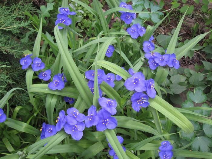 Традесканция садовая: выращивание в открытом грунте