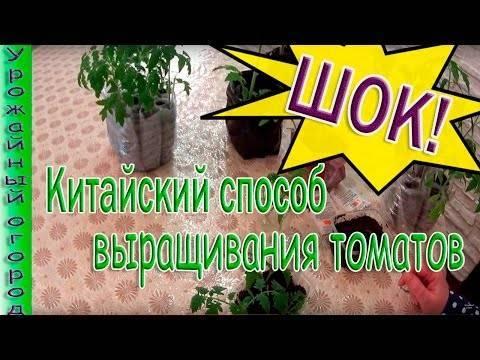 Выращивание томатов по китайской технологии: в чем суть, особенности и преимущества метода
