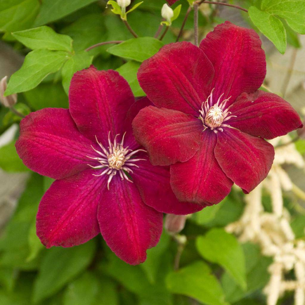 Клематисы — общие сведения, выращивание, условия посадки, уход и размножение + 88 фото