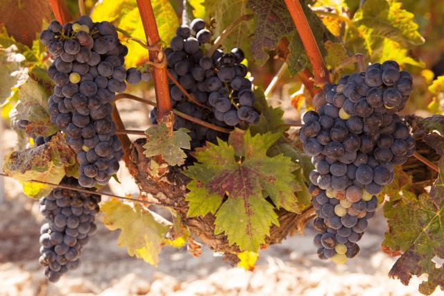 Описание и характеристики винограда сорта Виура, посадка и уход