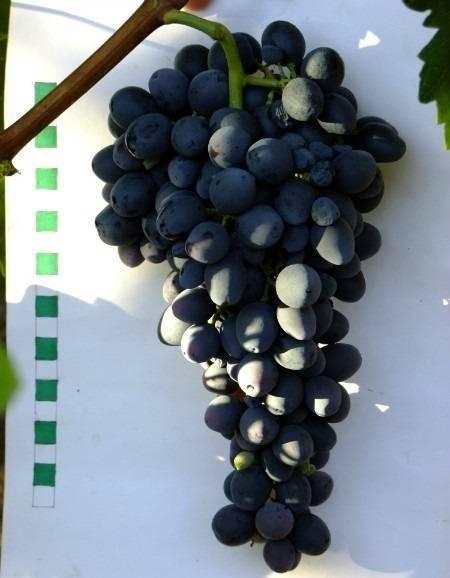 Виноград с изюминкой — кишмиш столетие: описание сорта и его и фото, характеристики и особенности