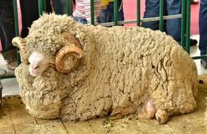 Порода тонкорунных овец и ее разведение