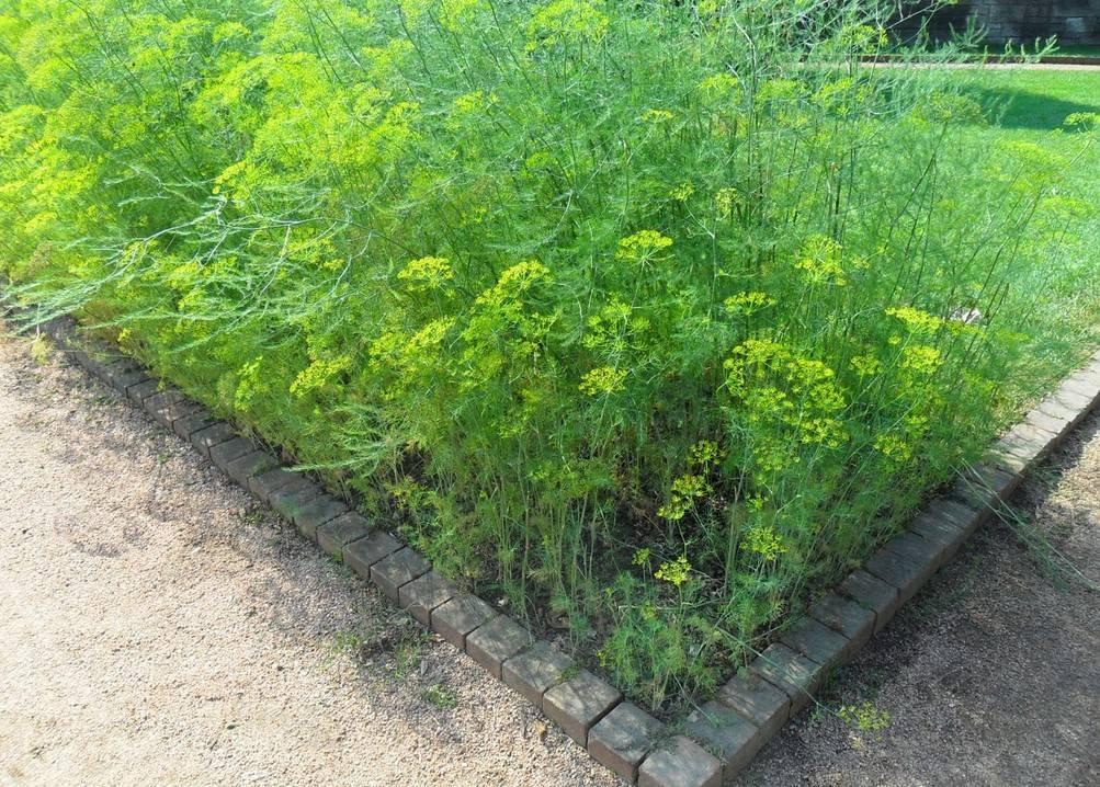 Чабер огородный садовый ароматный выращивание из семян посадка и уход в открытом грунте