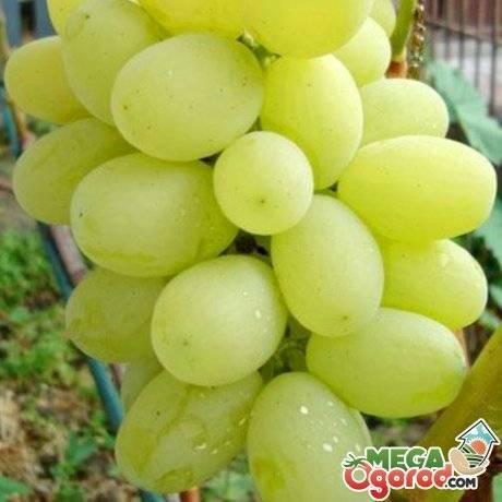 Виноград чарли. выбор участка для посадки, полив, уход, обрезка и удобрение