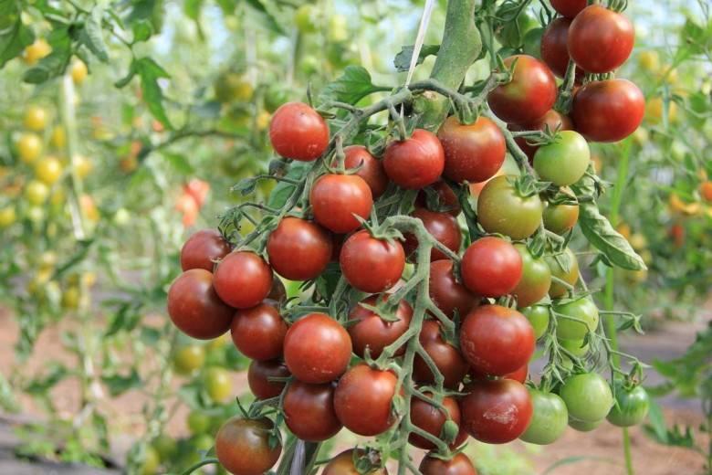 Кладоспориоз томатов – лечение химическими препаратами и 4 варианта народных средств