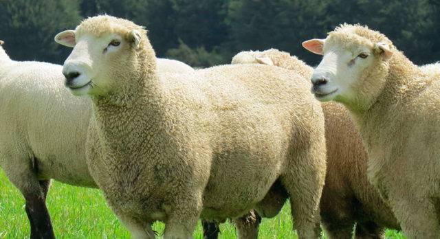 Курдючные овцы, тексель, дорпер – все породы хороши, выбирай на вкус!