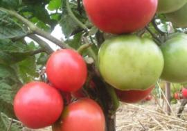 Лучшие сорта розовых томатов – рейтинг от читателей огород.ru (отзывы и фото)