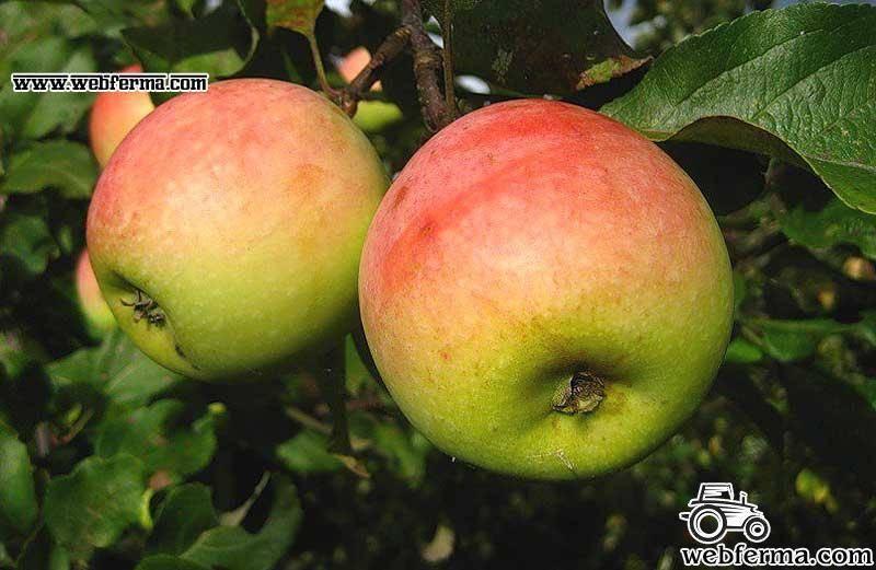 Яблоня кутузовец — описание сорта, фото, отзывы