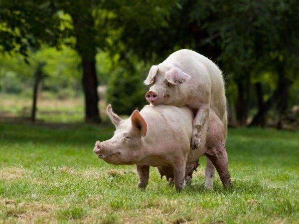 Когда свинка начинает гулять