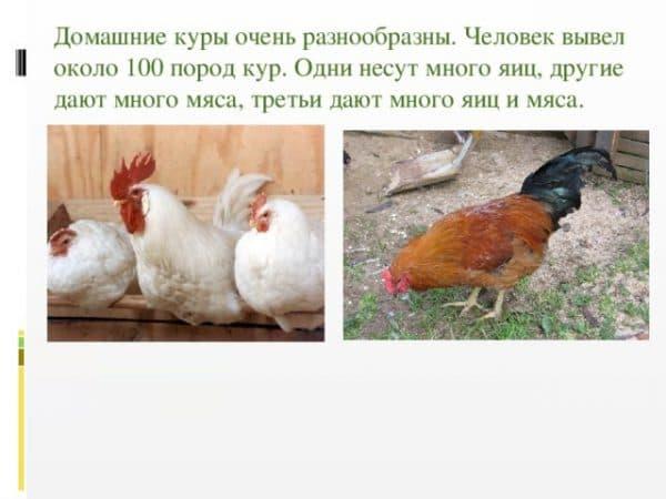 Сколько лет может жить несушка, и как обеспечить курице достойные условия содержания