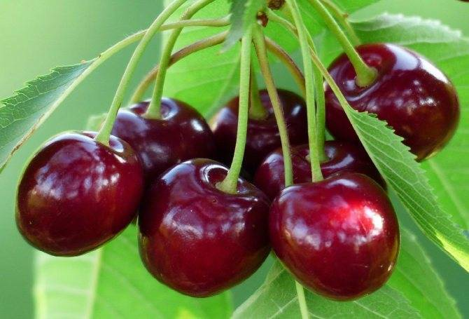 Какие сорта вишни лучше выращивать в ленинградской области