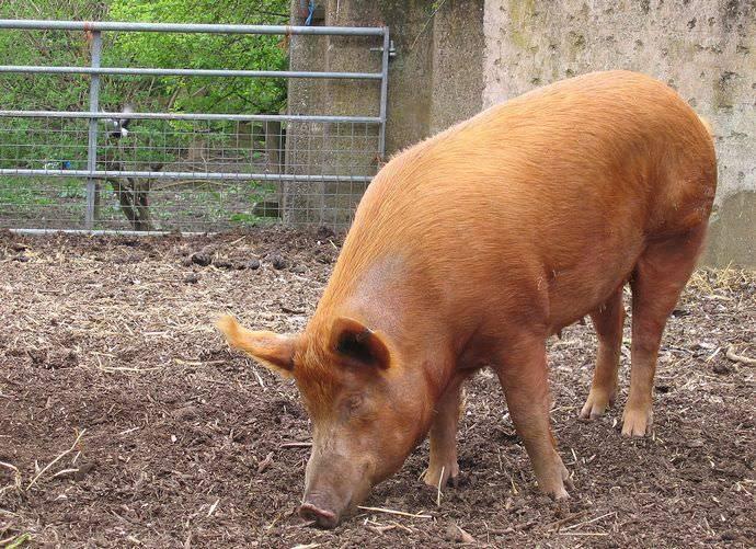 Методы скрещивания фермерских свиней