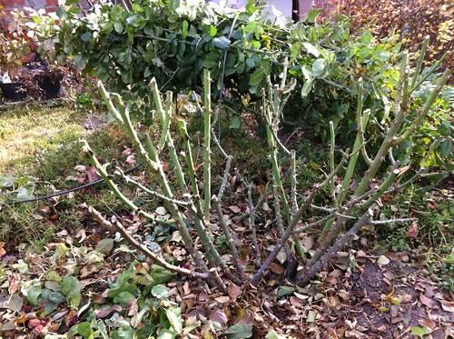 Когда и как лучше обрезать розы осенью, правила подготовки к зиме
