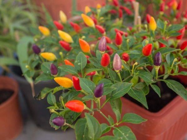 Декоративный комнатный перец: сорта, как выращивать в горшке