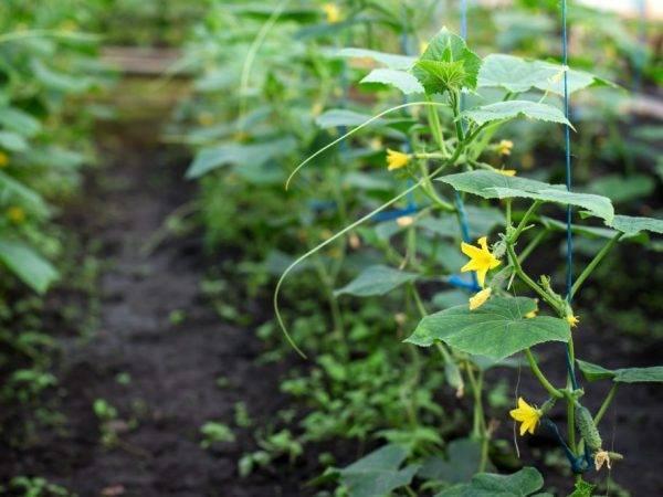 Огурцы в открытом грунте. секреты выращивания