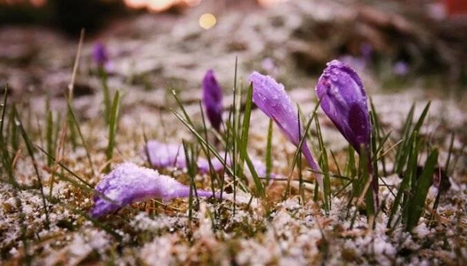 Когда и как сажать крокусы весной и осенью: правила ухода и выращивания