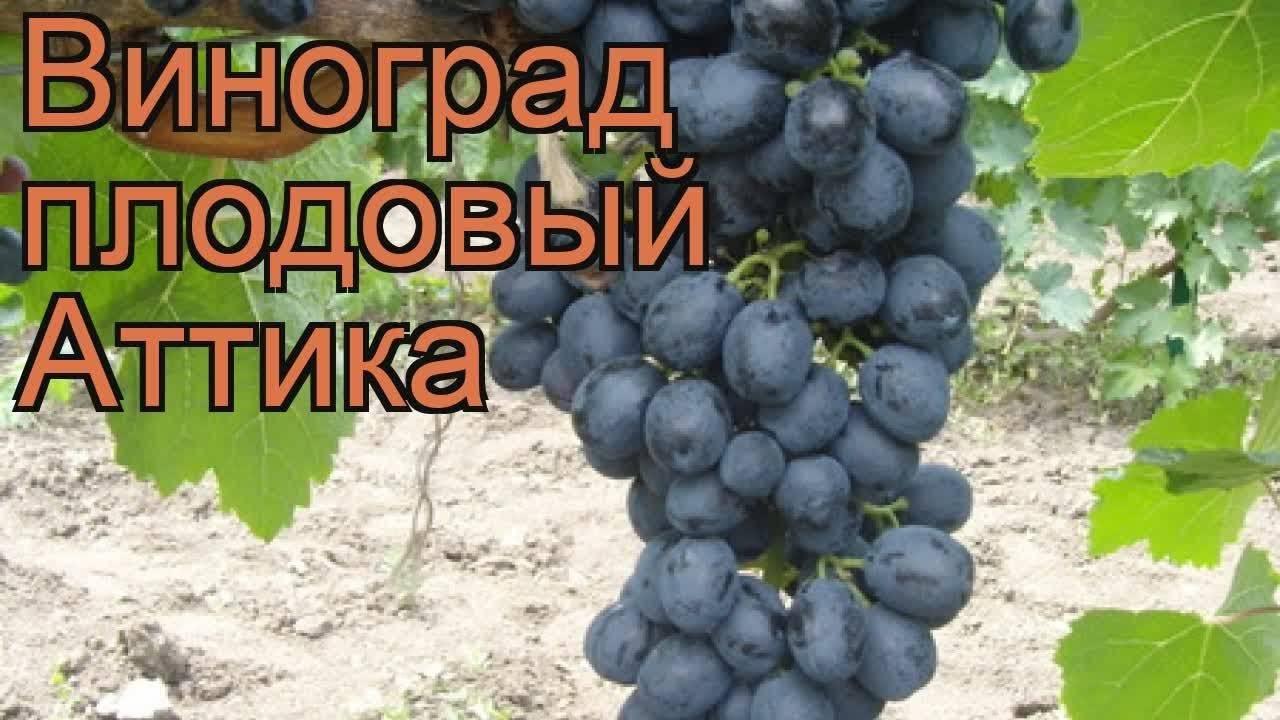 Виноград маникюр фингер описание сорта фото отзывы