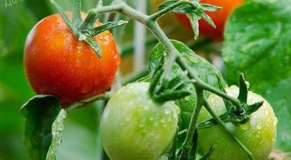 Томат розализа: описание и характеристика сорта, отзывы садоводов с фото