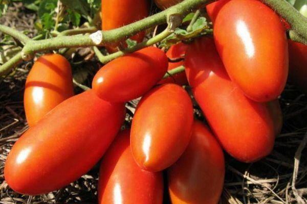 Характеристика и описание сорта томата золотые купола, его урожайность