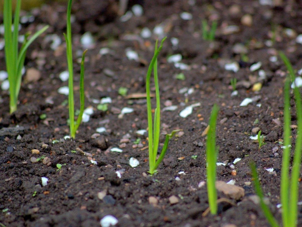 Выращиваем лук чернушку из семян, чтобы получить полноценный урожай