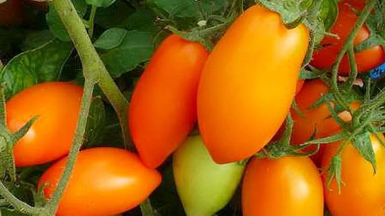 Томат семеныч f1: характеристика и описание сорта, выращивание и урожайность с фото