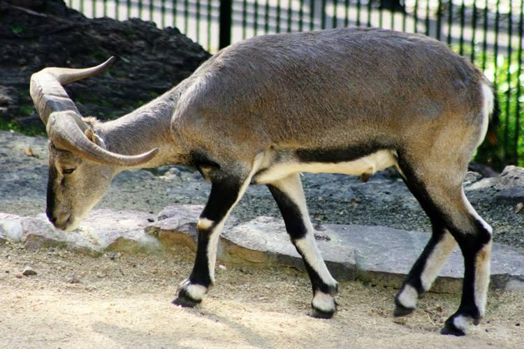 Баран — описание и характеристика, виды и обитание + 91 фото