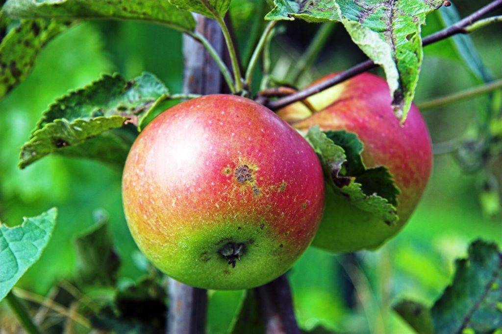 Яблоня «айдаред»: описание сорта, фото, посадка и уход