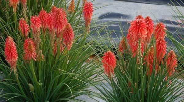 Цветы книфофия