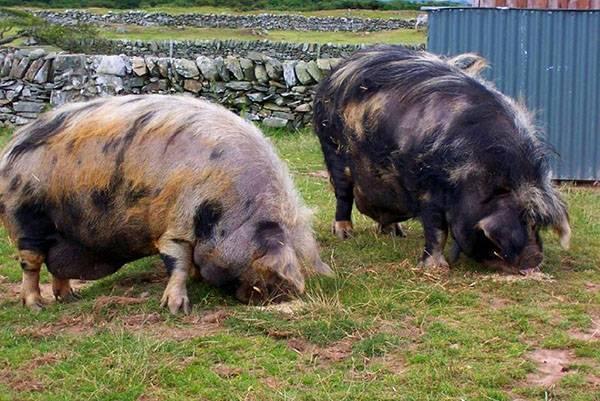 Порода свиней «крупная белая» — описание и советы по выращиванию