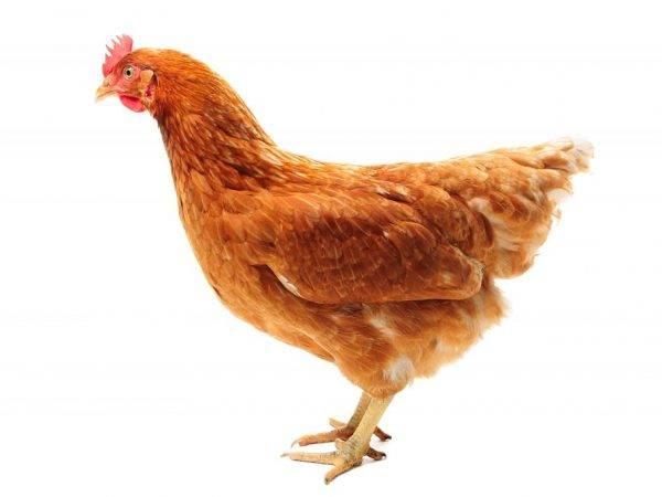 Порода кур браун ник: уход, содержание и разведение птицы