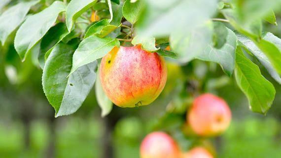 Описание и особенности сорта яблони марат бусурин, урожайность и выращивание