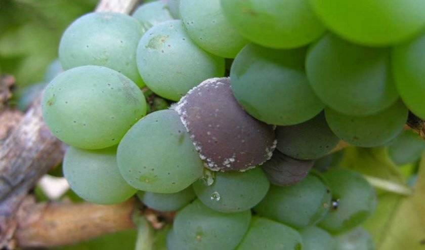 Для чего нужно обрабатывать виноград пищевой содой