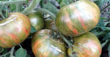 Томат биатлон f1: описание и характеристика сорта, мнение садоводов с фото