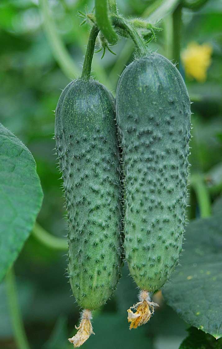 Описание партенокарпического гибрида огурцов амур f1 и способы получения раннего урожая