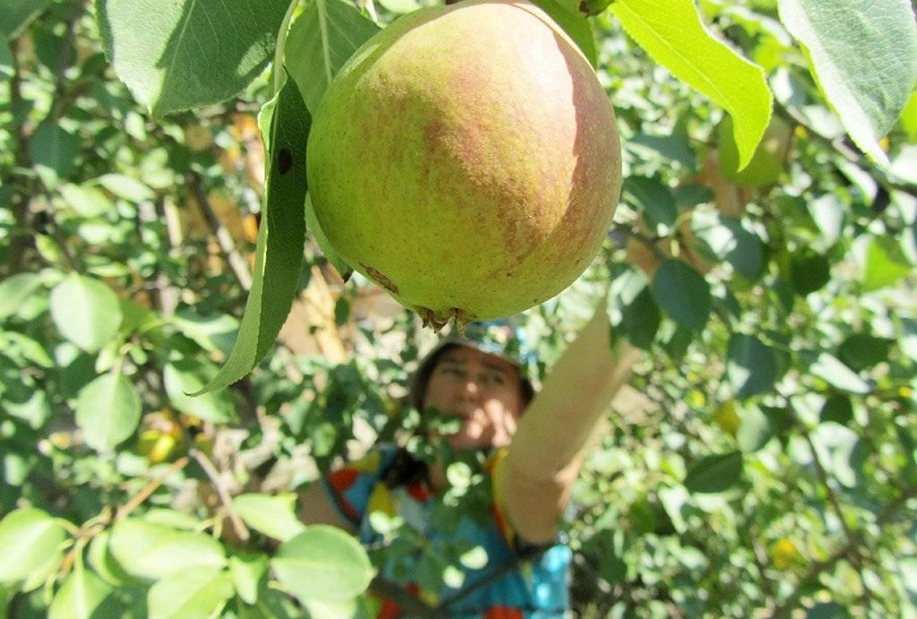 Характеристики и описание сорта яблонь папироянтарное, особенности выращивания и урожайность