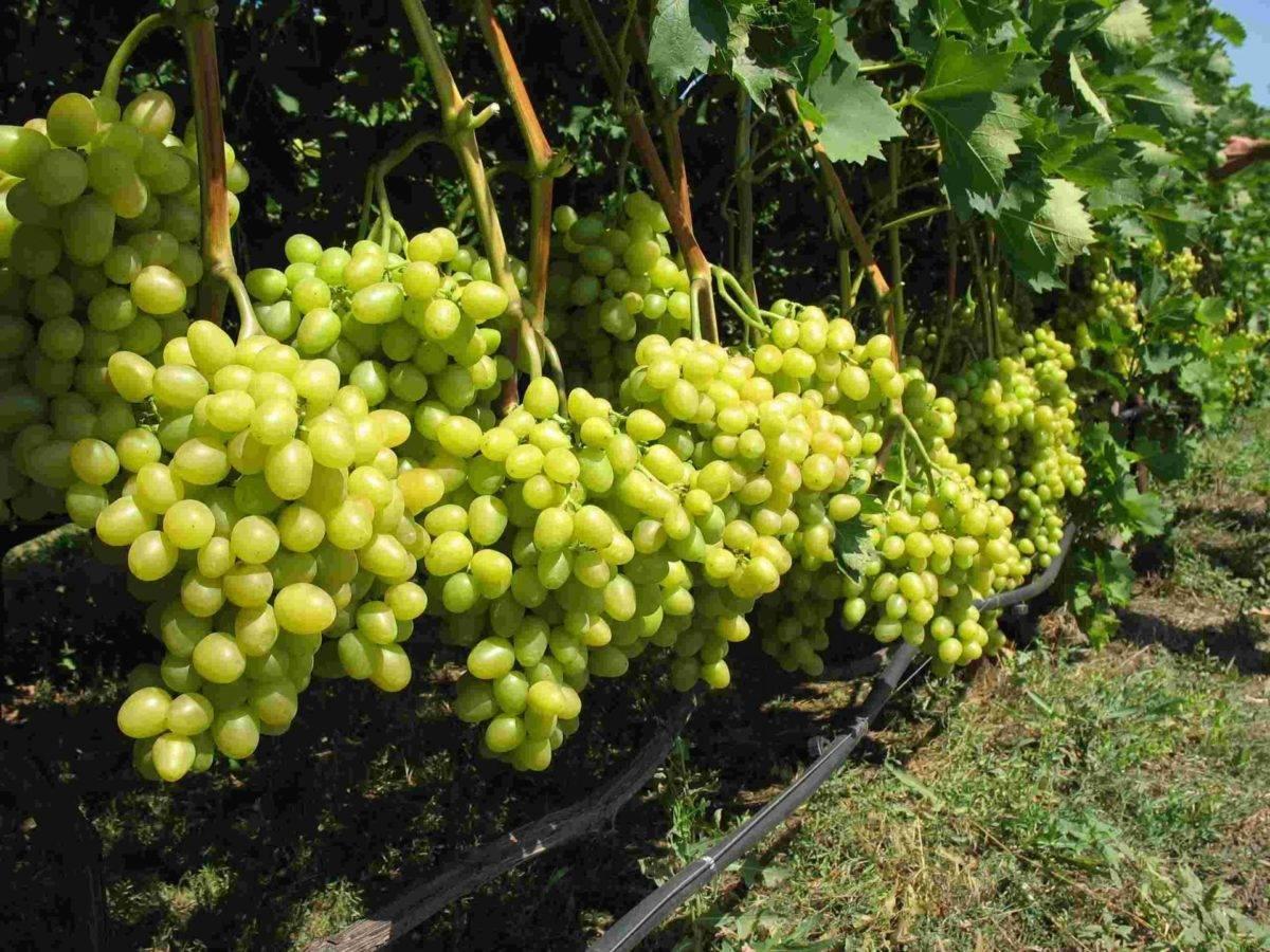 Выращивание винограда викинг — как посадить и ухаживать?
