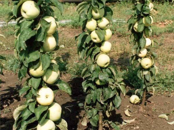 Посадка колоновидных яблонь – основные правила выращивания и ухода