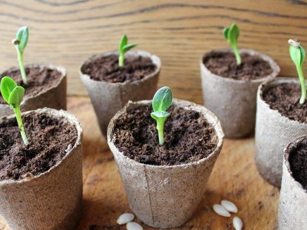 Как сеять огурцы на рассаду: способы проращивания семян, сроки и правила посева