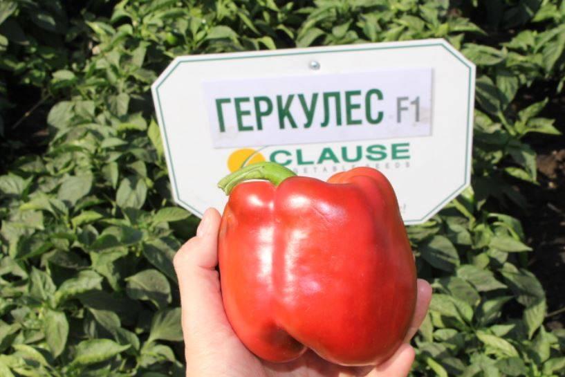 Совершить подвиг в земледелии легко с перцем геркулес f1: характеристика и описание сорта