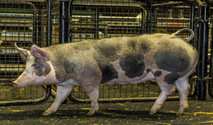 Ландрас: описание породы свиней, условия содержания и правила кормления